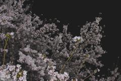 「夜の桜」