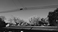 モノトーンな桜
