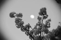 桜とお月様 トイカメラ モノクロ