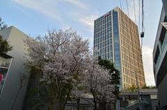 二子玉川楽天ビルの桜