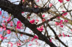 石神井公園の寒梅