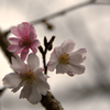 11月の桜…咲く