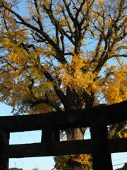 鳥居と大公孫樹