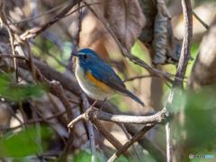 山の青い鳥