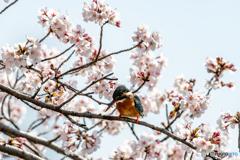 桜を纏って