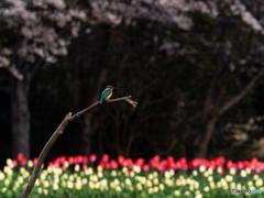 桜チューカワ
