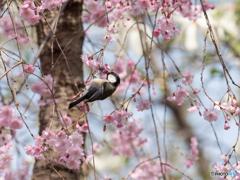 枝垂桜にぶら下がり