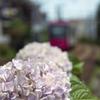 「都電」と「紫陽花」・・・その2