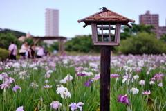 小岩菖蒲園 2019水無月 その3