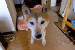 """柴犬""""ふくちゃん""""15歳 その1"""