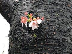 近所の桜 その2