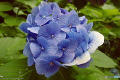 大崎の紫陽花(再)
