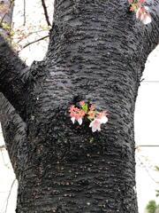 近所の桜 その1