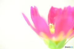 秋桜 ~水彩画~