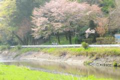 惜しむ桜の散歩道