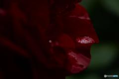 雫にひろがる薔薇の園