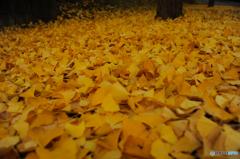 そして黄色の絨毯になる