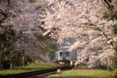 桜トンネルを抜けて