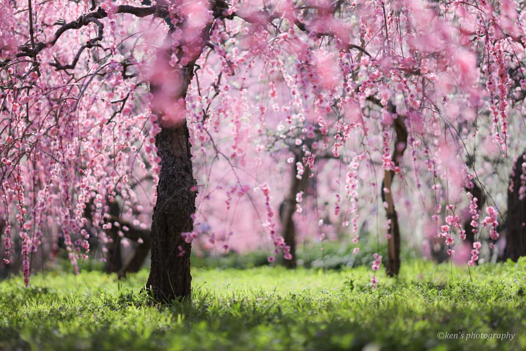 ピンクのカーテンと緑の絨毯