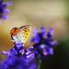 蝶とラベンダー