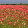 赤に染まるポピー畑