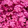 芝桜の絨毯