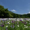 神楽女湖 花菖蒲と青空