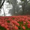 霧の彼岸花