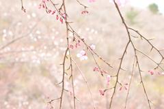 くじゅう朽網分かれの山桜