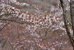 朽網分れの山桜