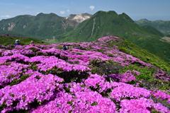 ミヤマキリサシマ咲く稜線