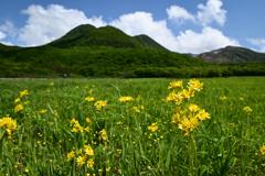 サワオグルマ咲く湿原