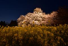 一心行の大桜ライトアップ