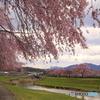 春のしだれ桜