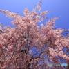 見上げて桜