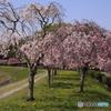しだれ桜のしたで、