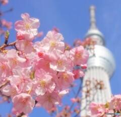 主役は桜ですねぇ。