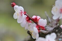春を待つ梅の花