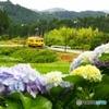 ローカル線と紫陽花