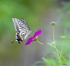 秋桜と揚羽蝶