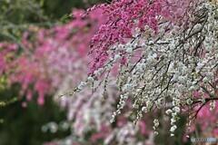 紅白に咲く垂れ桜