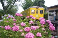 いすみ鉄道と紫陽花