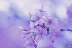 ローカル線に咲く、人気の桜