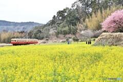 ローカル線に咲く、河津桜と菜の花
