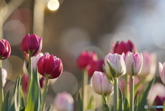冬に咲くチューリップ