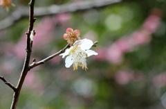 梅一輪  冬~春へ