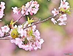 サクジロー 河津桜