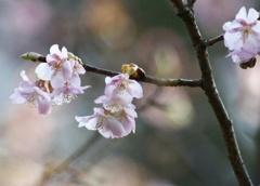 桜♪サクラ♪♪  さくら♪♪♪   春が来た!