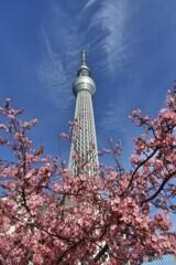 東京に咲く河津桜