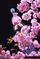 満開の河津桜と東京スカイツリー